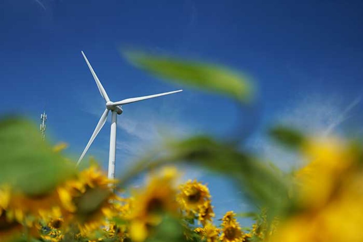 A wind turbine in the background with many sunflowers in the foregound.